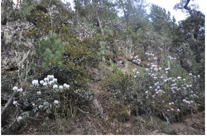生长在高山上的野杜鹃树