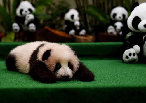 马来西亚大熊猫宝宝首次亮相