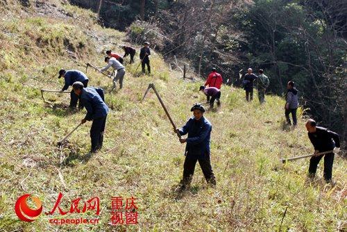 村民在合作社经济果树林里务工