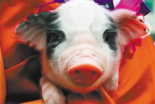 小猪儿可爱图片