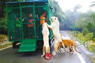 重庆野生动物园:狮子老虎爬车吓坏乘客续