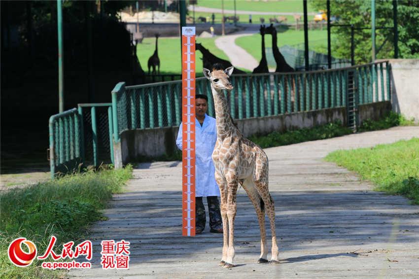重庆野生动物世界为满月长颈鹿测身高