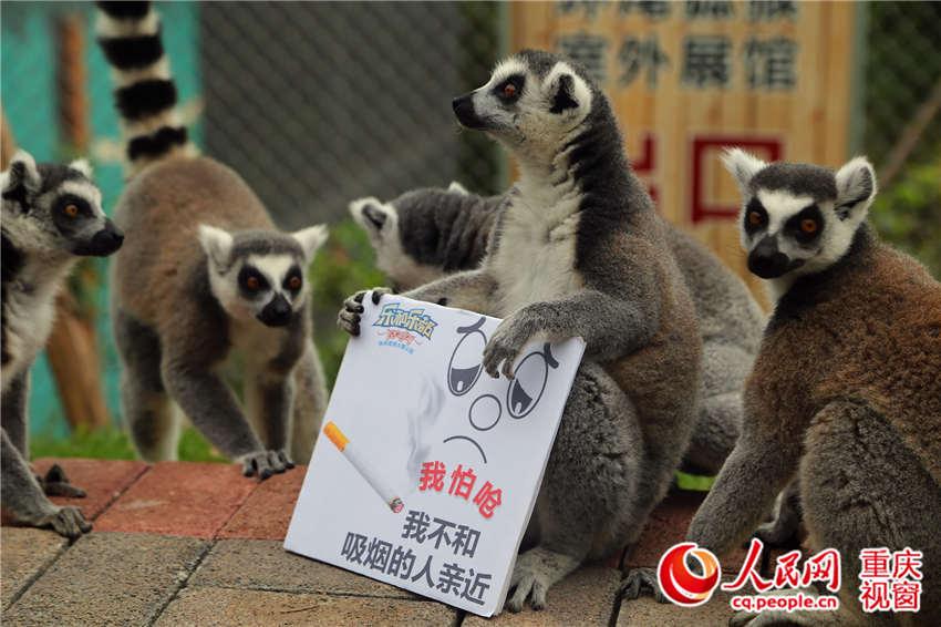 人民网重庆5月31日电 今天是第29个世界无烟日,烟草危害是世界最严重的公共卫生问题之一,吸烟和二手烟暴露严重危害人类健康。5月30日,在重庆永川野生动物园内,一群可爱呆萌的野生动物们在动物观察员的引导下,举着不和抽烟的人亲近的牌子,为世界无烟日作宣传。   工作人员把印有我怕呛、我不和吸烟的人亲近、吸烟有害健康等字样的宣传牌交给环尾狐猴、松鼠猴、黑猩猩、小熊猫等动物。它们都非常配合地抱着牌子供游客参观、拍照,黑猩猩见人多的时候,还站起来举牌挥动,其萌萌的样子逗得游客大赞可爱。   饲养