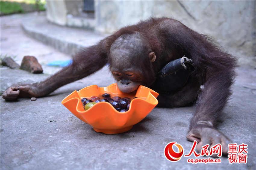 重庆动物园为小猩猩配的冰凉水果餐