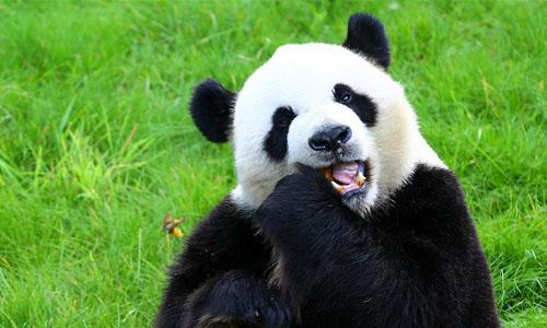 比利时出生的大熊猫宝宝亮相动物园