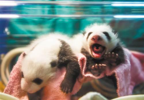 重庆动物园大熊猫双胞胎首次同时存活(图)
