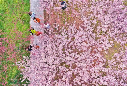 重庆北碚桃花樱花竞相开放