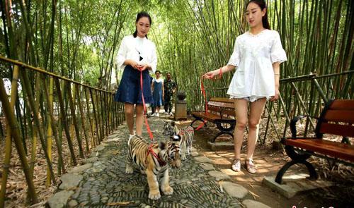 """姑娘公园""""遛老虎"""" 上演现实版美女与野兽"""