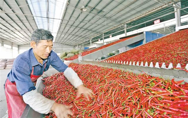 石柱小辣椒做成大产业
