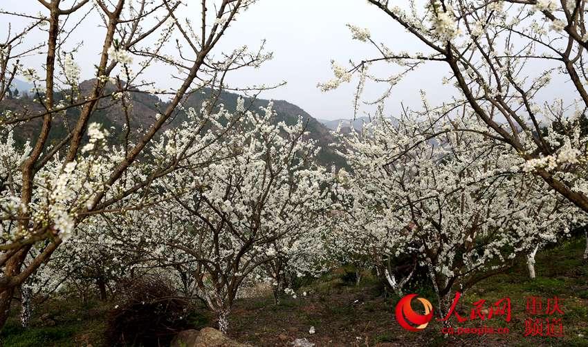 """巫山:""""花""""经济护了生态 富了村民"""