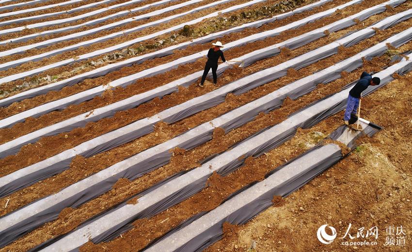 4月10日,酉阳县黑水镇马鹿村,村民正在忙碌着犁土、铺盖地薄膜。陈碧生 摄