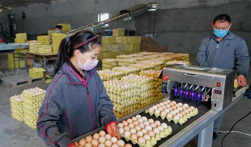 无抗养鸡促增收