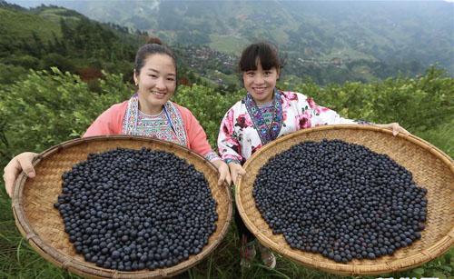 蓝莓种植助脱贫