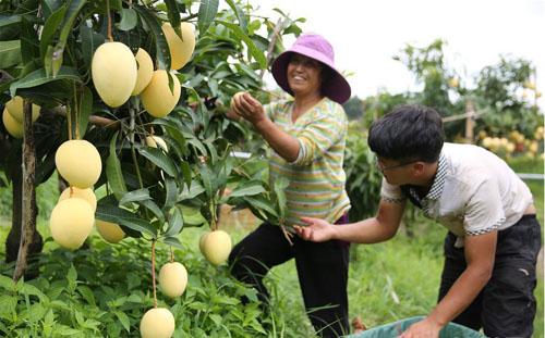 芒果喜丰收