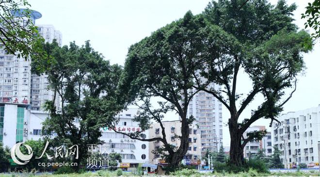 重庆荣昌:保护百年古树 不建商场建广场