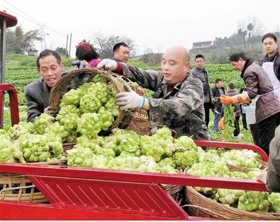 涪陵:只是卖新鲜青菜头 今年就卖了11亿元
