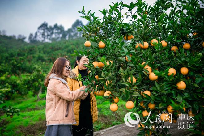 江津区杜市镇:600亩甜橙等你来摘