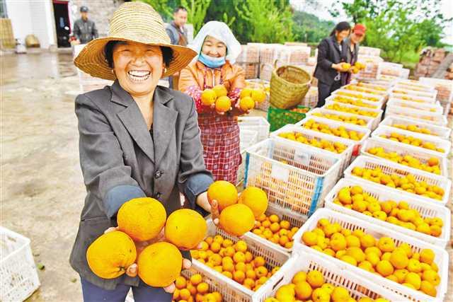 开州:春橙新果成俏货