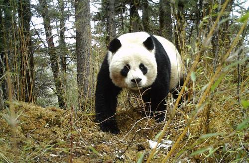 黄龙自然保护区红外相机拍摄到大熊猫带崽活动