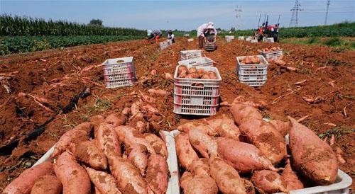 鲜食红薯种植促增收