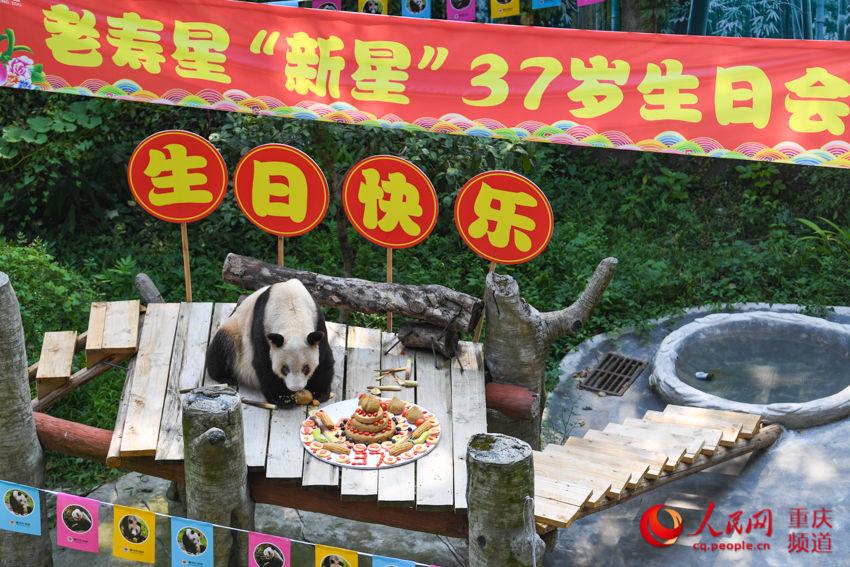 """熊猫界""""百岁老人""""庆生 已有137个子孙"""
