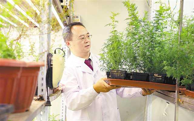 重慶培育出青蒿優質新品青蒿素含量提高80%