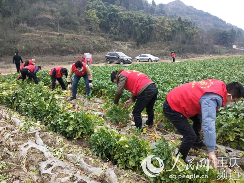青年志願者正在種植基地拔蘿卜。共青團重慶市潼南區委供圖