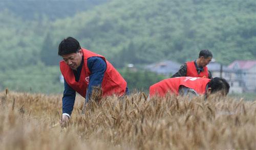 浙江德清:麦田收割 志愿服务