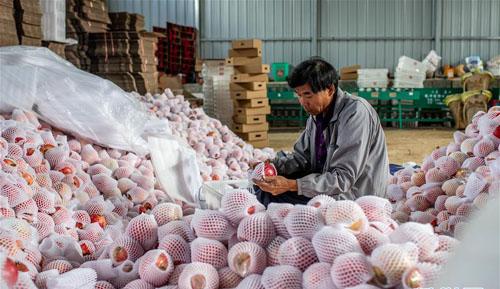 云南会泽:火红石榴促增收
