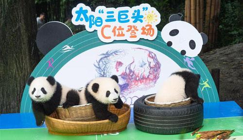 2020年成都新生大熊猫幼仔国庆前亮相