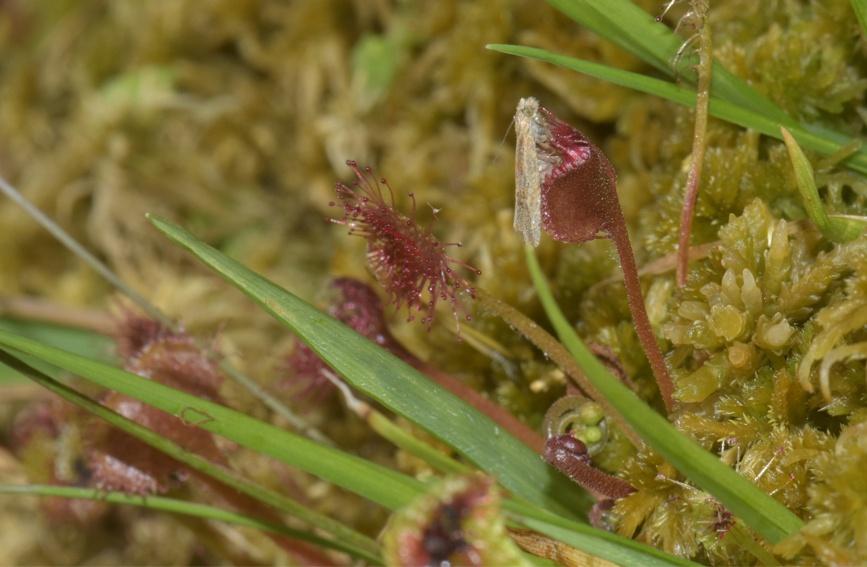 圆叶茅膏菜捕食蛾类。重庆五里坡国家级自然保护区管理处供图